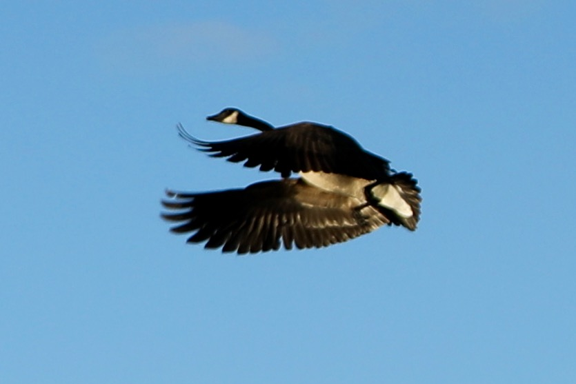 goose in flight.JPG